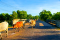 Brown cow walking on road Royalty Free Stock Photo