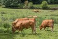Brown cows grazing in farmland Royalty Free Stock Images