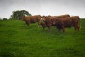 Brown cows on hillside in Ireland Royalty Free Stock Photo