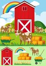 Brown cows and red barn on the farm Royalty Free Stock Photo
