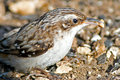 Brown Creeper Royalty Free Stock Photography
