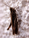 Brown cricket Royalty Free Stock Photo