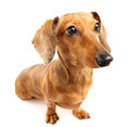Brown dachshund dog close up Royalty Free Stock Photos