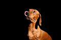 Brown dachshund dog with funny tongue Royalty Free Stock Image