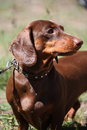 Brown dachshund dog portrait in the park Stock Photography