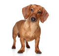 Brown dachshund stand white background Stock Photography
