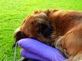 Brown dachsie in garden detail of sleeping dachshund Stock Image