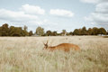 Brown Deer on Brown Grass Stock Photo