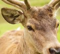 Brown deer eye Stock Photos