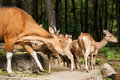 Brown deer herd with mother doe taking care of her young children together standing on rock. Royalty Free Stock Photo