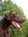 Brown doberman Stock Photography