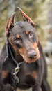 Brown doberman close up portrait of purebred Stock Photo