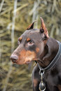 Brown doberman close up portrait of purebred Stock Image