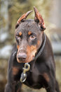Brown doberman close up portrait of purebred Stock Photos