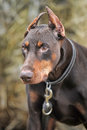 Brown doberman close up portrait of purebred Stock Photography