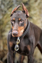 Brown doberman close up portrait of purebred Royalty Free Stock Photo