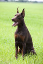 Brown doberman s puppy young sitting on the green grass Royalty Free Stock Image