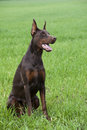 Brown doberman s puppy young sitting on the green grass Stock Photo