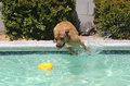 Brown dog jumping off the side of a pool pitbull swimming for his toy Stock Photos