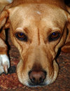 Brown dog portrait Royalty Free Stock Photography