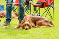 Brown dog resting big by handlers feet in sunshine Stock Photography