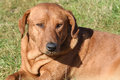 The brown dog of unknown breed Royalty Free Stock Photo