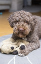 Brown dog waiting to play. Royalty Free Stock Photo