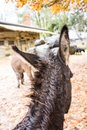 Brown donkey ear view seen from back Royalty Free Stock Photo