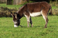 Brown donkey in a field in la spezia Royalty Free Stock Photos