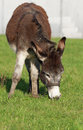 Brown donkey in a field in la spezia Royalty Free Stock Photo