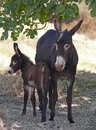 Brown donkeys little donkey with his mother both dark Stock Photos