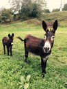 stock image of  brown donkeys mother and son in a meadow