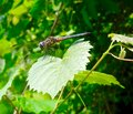 Brown dragonfly Royalty Free Stock Photo