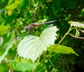 Brown dragonfly on a leaf Royalty Free Stock Photo