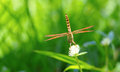 Brown dragonfly on white Globe Amaranth flower Royalty Free Stock Photo