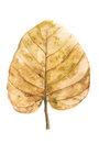 Brown dried leaf on white background
