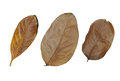 Brown dry leaves set isolated on white background Royalty Free Stock Photo