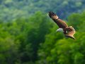 Brown eagle a flying in the sky langkawi island malaysia Stock Photography