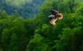 Brown eagle a flying in the sky langkawi island malaysia Royalty Free Stock Photography