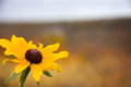 Brown eyed Susan Royalty Free Stock Photo