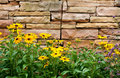 Brown-eyed Susans by Stone Wall Stock Photo