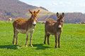 Brown Farm Donkeys Royalty Free Stock Photo