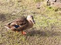 Brown Female Duck Mallard On G...