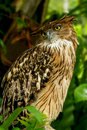Brown Fish Owl Royalty Free Stock Photo