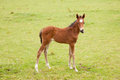 Brown foal in meadow green grassy Royalty Free Stock Images