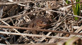 Brown frog toad hiding in the dry grass Stock Images