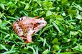 Brown frog, a toad in wet grass in a meadow bog. Royalty Free Stock Photo