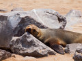 Brown fur seal arctocephalus pusillus lazy lying Royalty Free Stock Photos