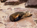Brown fur seal arctocephalus pusillus sleeping Stock Photography