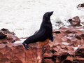 Brown fur seal arctocephalus pusillus wet before wave hit Stock Image